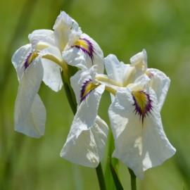 Iris pseudata 'Yukiyanagi'