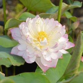 Nelumbo 'Apricot Blossom'