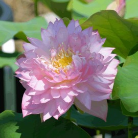 Nelumbo 'Lanceolate Red'