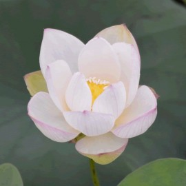 Nelumbo 'Little Elphin'