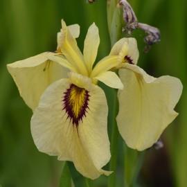 Iris pseudata 'Ryugan'