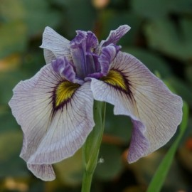 Iris pseudata 'Take No Sato'