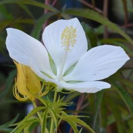 Hibiscus coccineus 'Alba'
