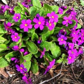 Primula x juliae 'Wanda'