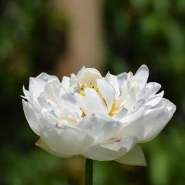 Nelumbo 'Winter Chrysanthemum'