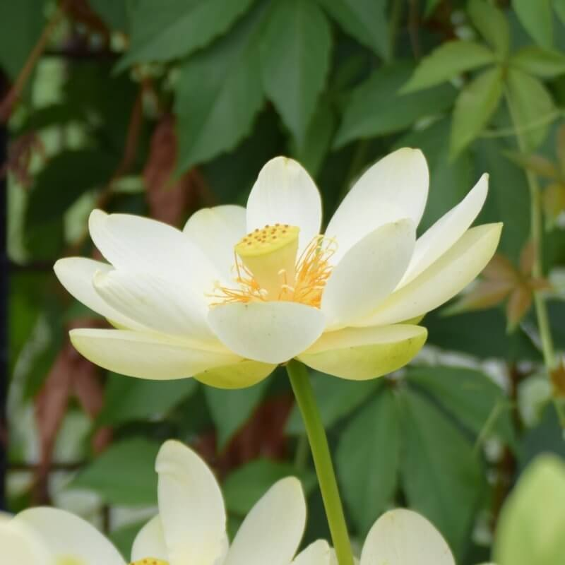 Nelumbo 'Yellow Bird'