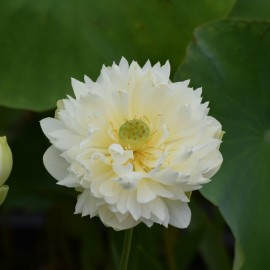 Nelumbo 'Moon Lady'