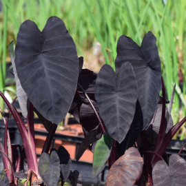 Colocasia 'Black Runner'