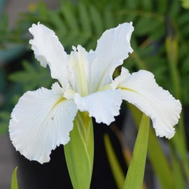 Iris louisiana 'White Umbrella'