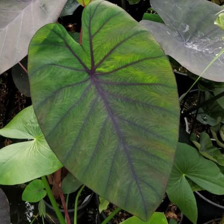 Colocasia 'Madeira'