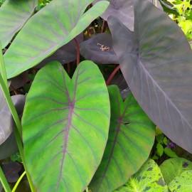 Colocasia Madeira