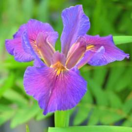 Iris louisiana 'Palmetto...