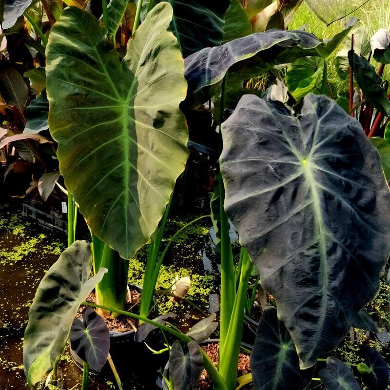 Colocasia  antiquorum 'Illustris'