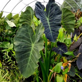 Colocasia 'Coal Miner'