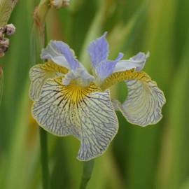 Iris spec-x 'Alley Oops'