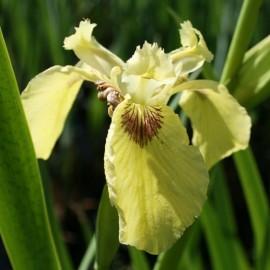 Iris pseudacorus 'Seakrill'