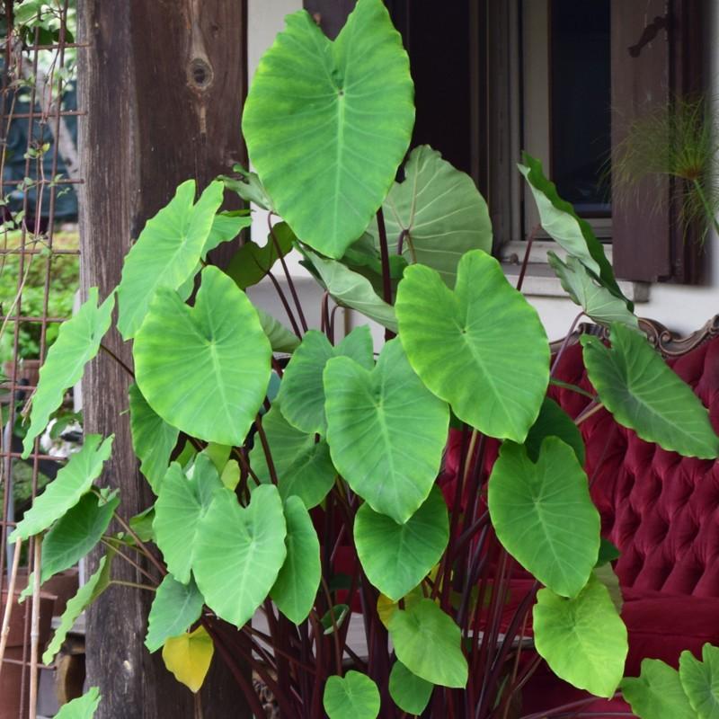 Colocasia 'Rhubarb'