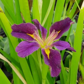 Iris louisiana 'Spicy Cajun'