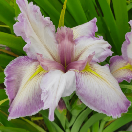 Iris louisiana 'Feather And...