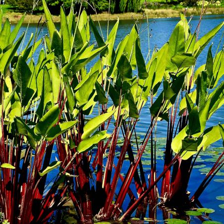 Thalia geniculata 'Red Stem'