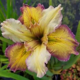 Iris louisiana 'Our Dorothy'