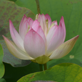 Nelumbo 'Joyfull Eyes'