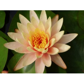 Nymphaea 'Peace Lily'