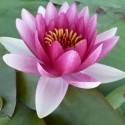 Nymphaea 'Darwin' syn 'Hollandia'