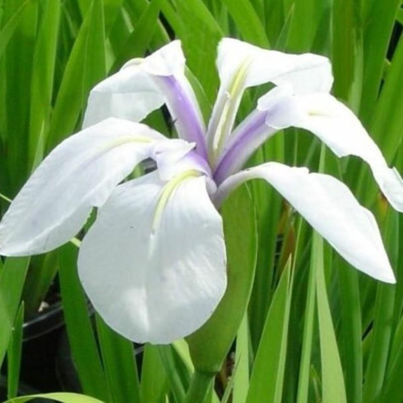 fiore Iris laevigata 'Snowdrift'