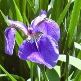 fiore Iris setosa