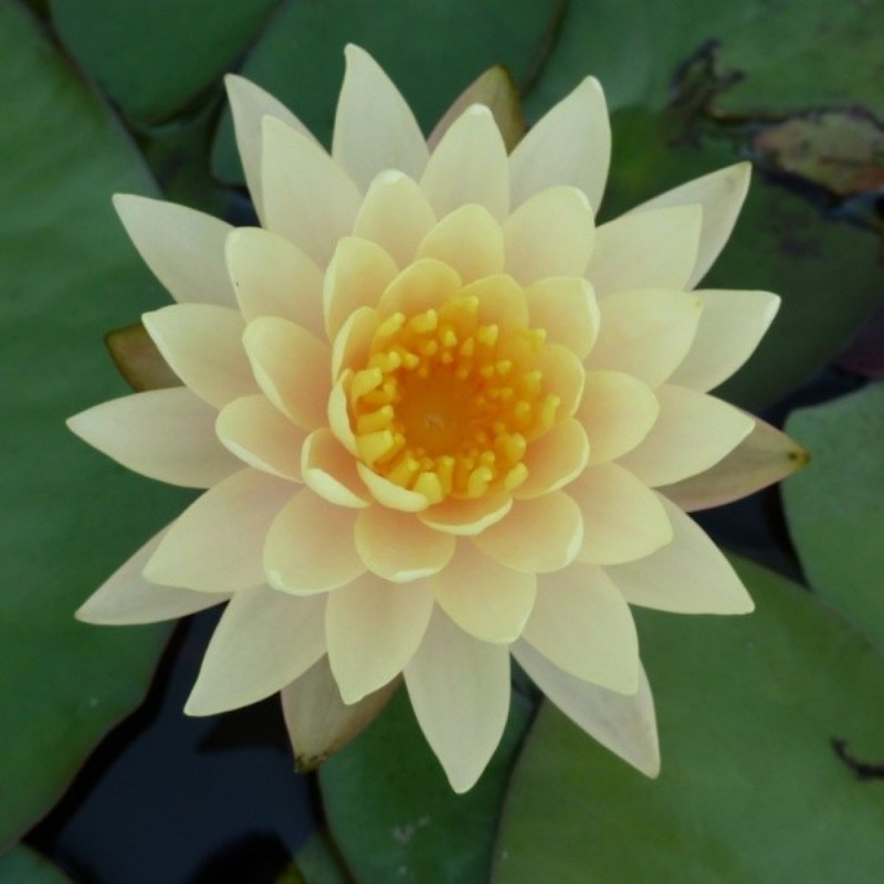 Nymphaea 'Clyde Ikins'