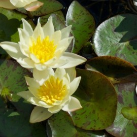 Ninfea 'Pygmaea Helvola'