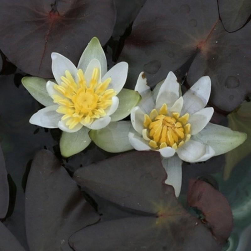 Nymphaea 'Pygmaea Alba'