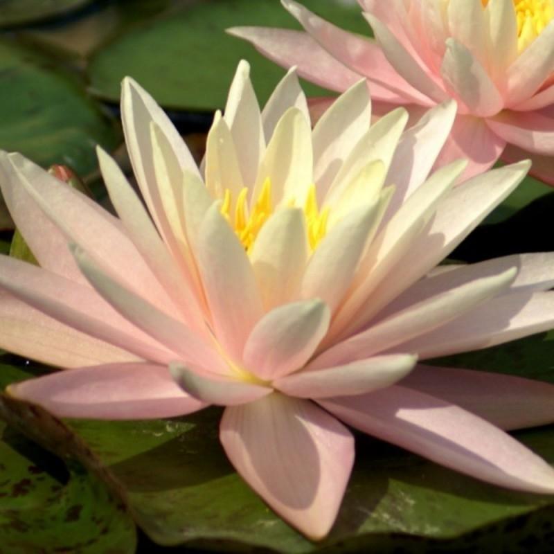 Ninfea 'Sunny Pink'