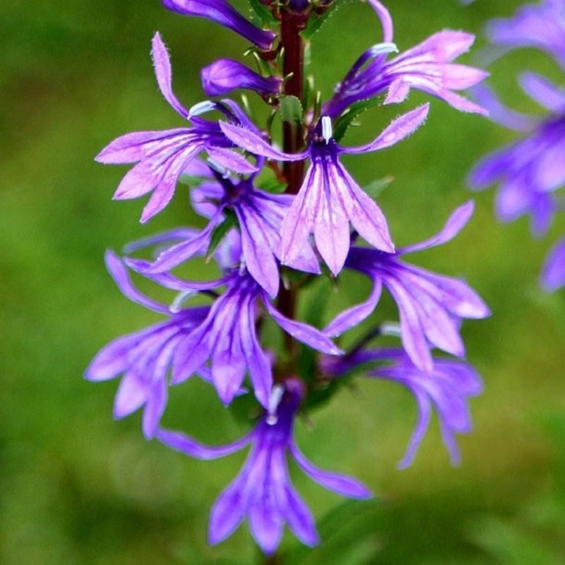 fiore Lobelia sessilifolia