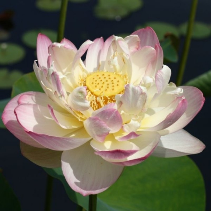 Nelumbo 'Mrs. Perry Slocum'