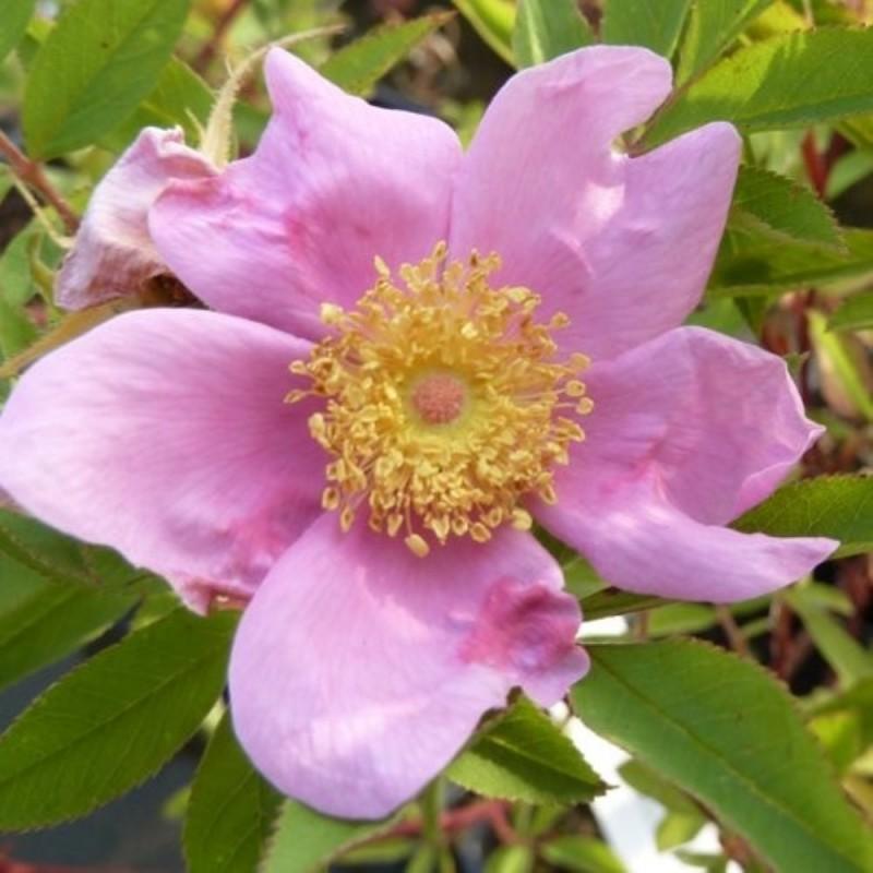 Fiore Rosa palustris