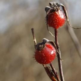 Bacche di Rosa palustris