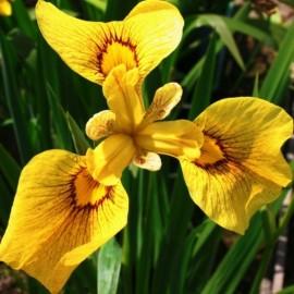 Iris pseudoacorus 'Variegato'