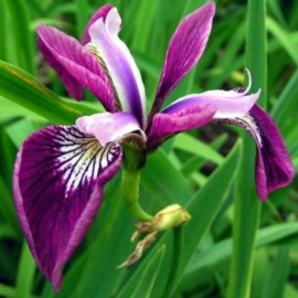 Iris pseudacorus 'Holden's Child'