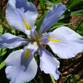 Iris Louisiana 'Sea Wisp'