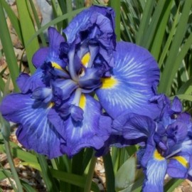 Iris ensata 'Electric Rays'