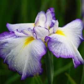 Iris ensata 'Royal crown'