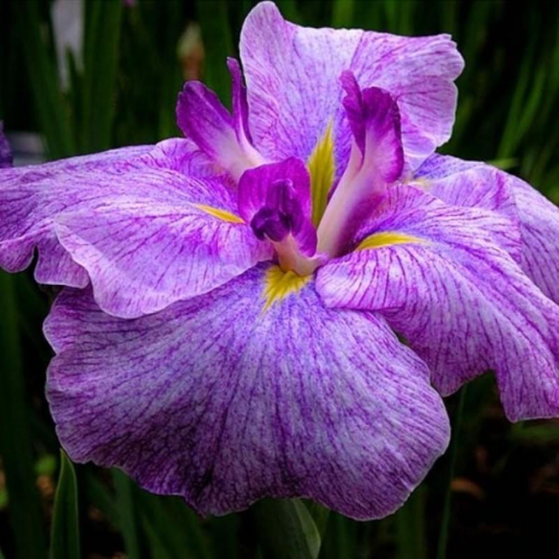 Iris ensata 'Japanese Pinwheel'