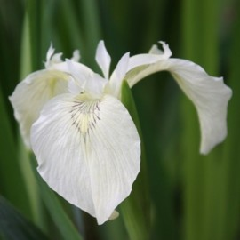 Iris pseudacorus 'Créme de la Crémé'