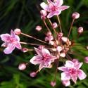 Butomus umbellatus 'Rosenrot'