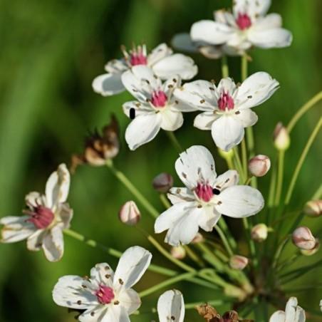 Butomus umbellatus 'White form'