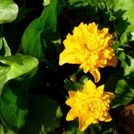 Caltha palustris 'Multiplex'