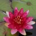Nymphaea 'Red Paradise'