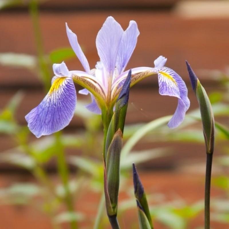 Iris x robusta 'Gerald Darby'